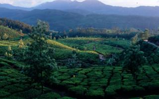 Индия. Чайные плантации в Мунаре
