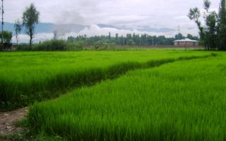 Рисовое поле в Индии