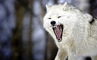 Свирепый волк