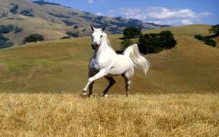 Белая лошадь на лугу