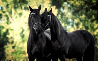 Черные лошади