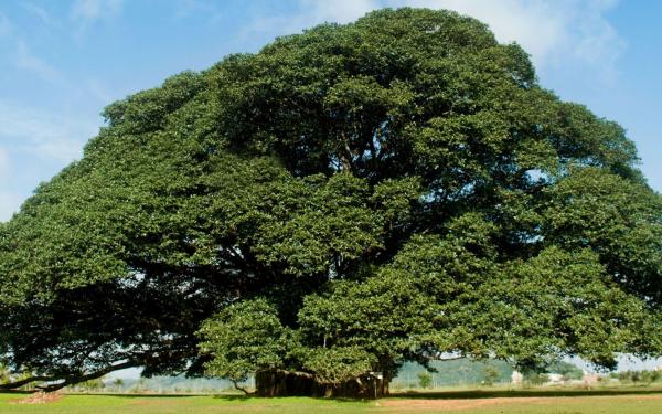 Картинка Дерево с большой кроной » Деревья » Природа ...