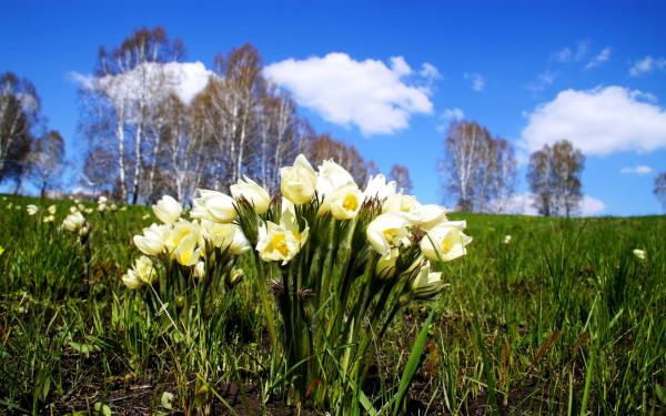 На весенней поляне цветет сон-трава