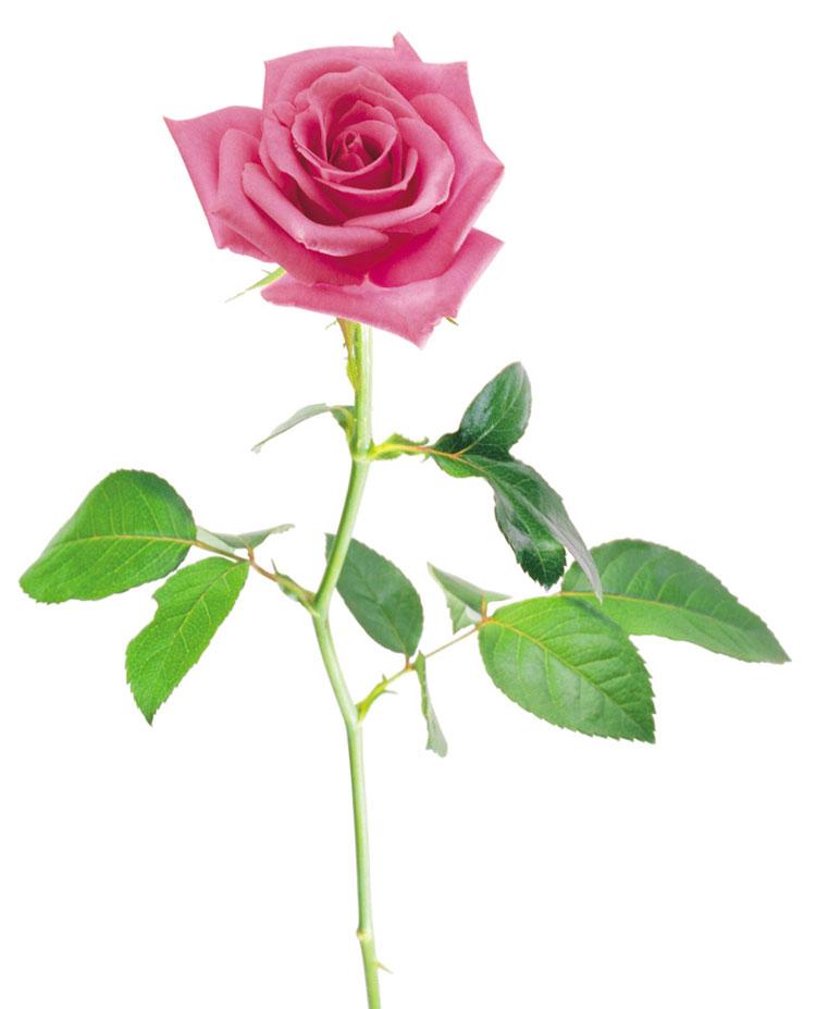 """Картинки по запросу """"роза на белом фоне рисунок"""""""