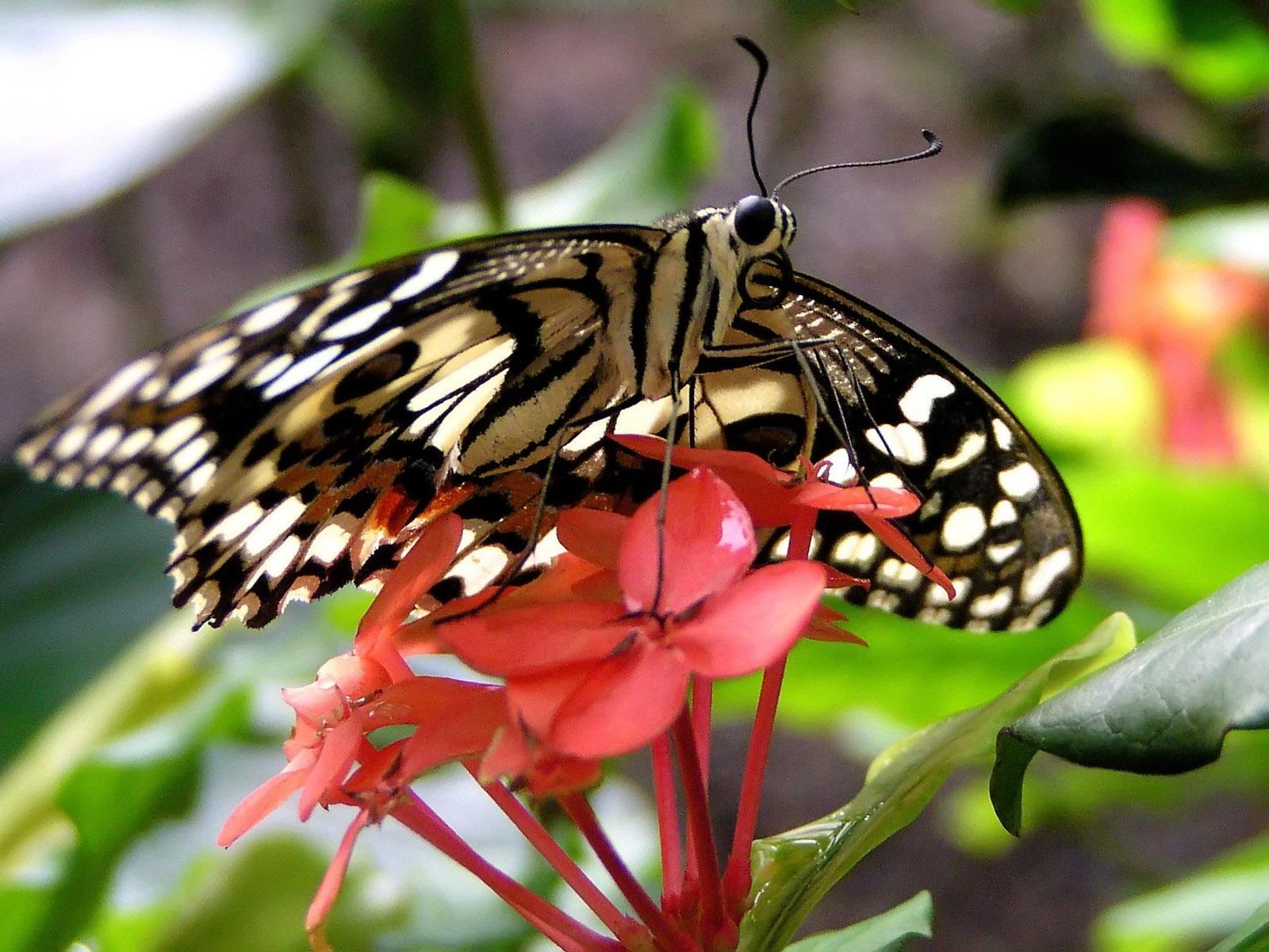 Картинка Бабочка и цветы » Бабочки » Насекомые » Животные ...