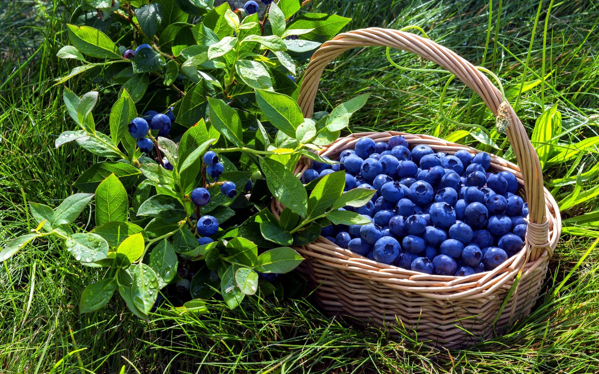 Картинка Ягода черника в корзине » Фрукты и ягоды » Еда ...
