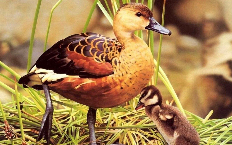 Картинка Утка и утенок » Утки » Птицы » Животные ...
