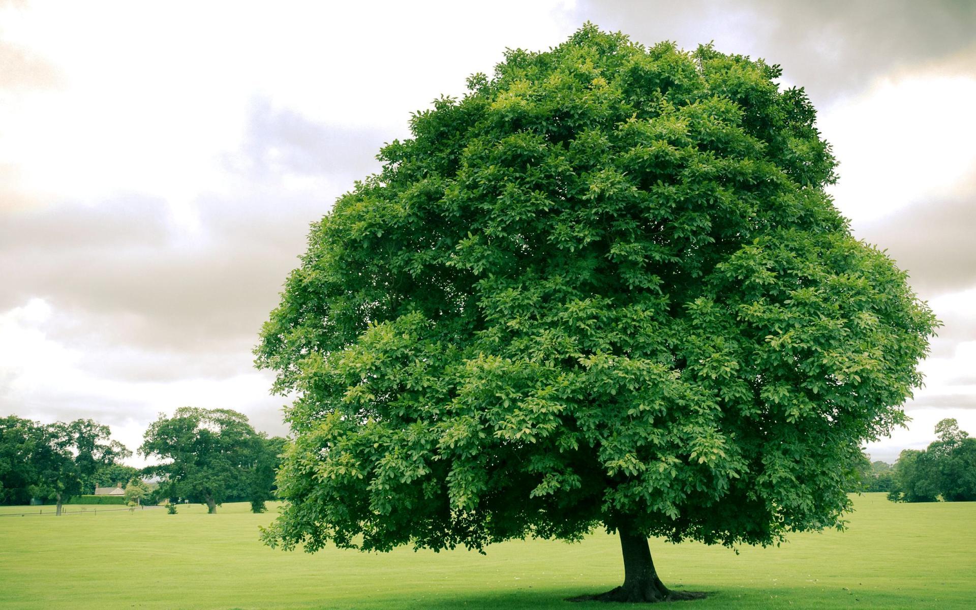 Картинка Дерево с зеленой кроной » Деревья » Природа ...