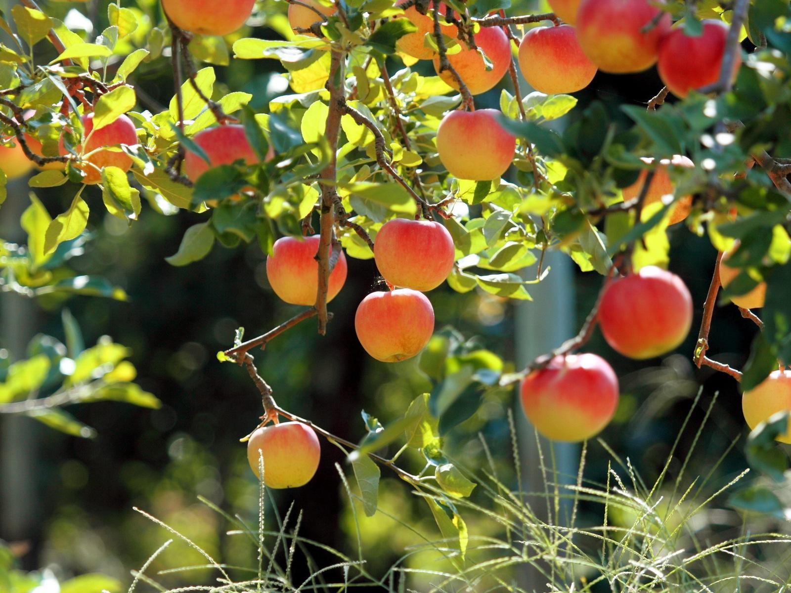 Картинка Яблоня с яблоками » Деревья » Природа » Картинки ...