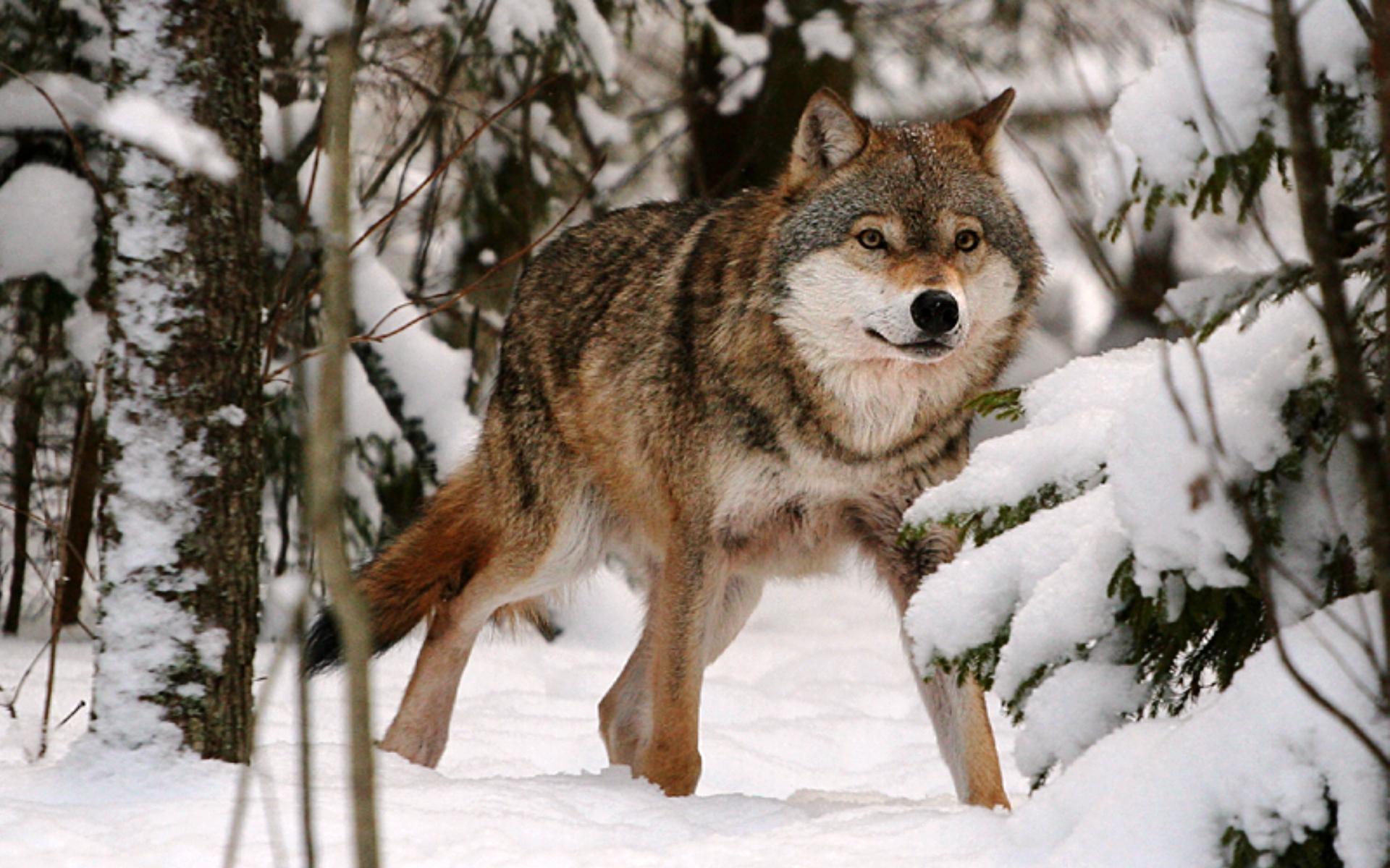 Картинка Волк в зимнем лесу » Волки » Животные » Картинки ...
