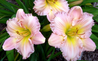 Лилейник Daylily Surprisingly Pink